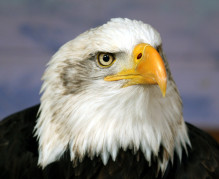 Bald_eagle_head_frontal[1]
