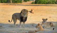 The iconic black maned lion of Hwange National Park  with his pride - Zimbabwe